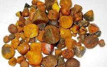 Sỏi mật trâu bò đắt như vàng ròng: 300 triệu/kg