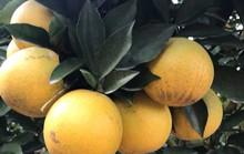 Siêu độc: Cây cam Vinh có 1.000 quả