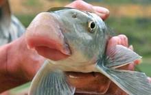 Những loài cá tiến vua đắt đỏ nhưng vẫn được săn lùng