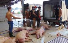 Sốc: 100% mẫu thịt heo, gà, vịt bị nhiễm khuẩn gây viêm não