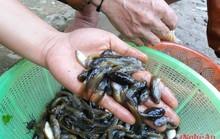 Lạ kỳ mùa săn nòng nọc làm đặc sản ở miền Tây xứ Nghệ