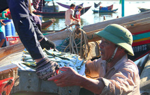 Ngư dân Hà Tĩnh thỏa sức bắt cá trích