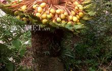 Đổ xô xem cây vạn tuế hiếm có đẻ 400 trứng vàng