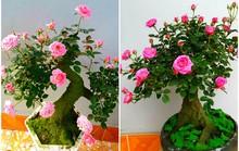 Mua hồng bonsai sang chảnh về chưng Tết
