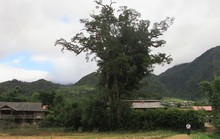 Đi tìm cây sa mu ngàn tuổi dưới dãy Hoàng Liên Sơn