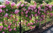 10 loại cây làm hàng rào tuyệt đẹp không thể bỏ qua