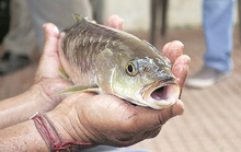 Ăn cá tươi roi rói tốt hơn hay ăn cá đã chết?
