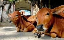 """Kiện chủ tịch xã đòi """"chuồng bò"""" và 7 con bò"""