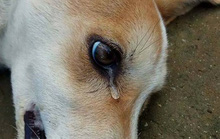 Lạ lùng với người tốt chữa chó bị bả chết ngoài đường