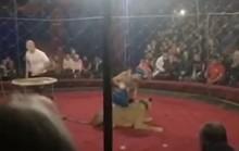 Xem xiếc thú, bé 4 tuổi bị sư tử cào rách mặt