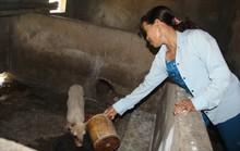 Lợn giống cấp cho dân để giảm nghèo bất ngờ chết hàng loạt