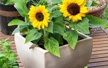 Thời gian trồng hoa để nở đúng vào dịp Tết