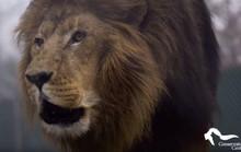 Mỹ: Sư tử sổng chuồng, giết chết thực tập sinh