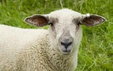 Đứa con lai giữa cừu và người đầu tiên