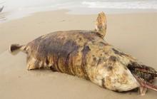 Phát hiện 3 xác cá thiêng chết và dạt cùng lúc vào biển Quảng Bình