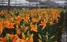 Giá hoa ly rẻ chưa từng có, người trồng để mặc hoa rụng đầy gốc