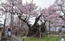"""Lặng người trước """"Báu vật quốc gia"""" đẹp và cổ nhất Nhật Bản"""