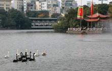 Trầm trồ nhìn đàn thiên nga xuất hiện giữa Hồ Gươm