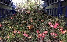 Sự thật không ngờ về táo đỏ Trung Quốc trưng Tết