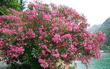 Những loại hoa chơi Tết siêu đẹp, siêu độc tính cần cảnh giác