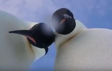 CLIP Chim cánh cụt nhặt được máy ảnh, chụp hình tự sướng