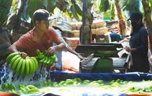 Giá tăng mạnh, thương lái Trung Quốc về tận vườn Đồng Nai mua chuối