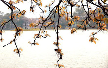 Hồ Gươm lãng mạn mùa lộc vừng thay màu lá