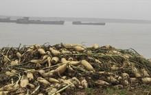 Cả cánh đồng ngập trắng củ cải bị vứt bỏ vì không ai mua