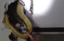 Tá hỏa phát hiện trăn khổng lồ trốn trong tường nhà