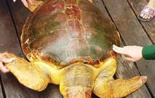 Ngư dân bắt được rùa biển quý hiếm màu vàng nặng hơn 80 kg