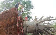 Nộp phạt 750.000 đồng, chủ hàng được nhận lại cây quái thú cuối cùng