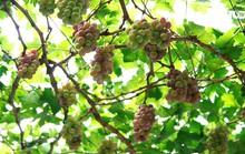 Vườn nho chín mọng, trĩu quả tại TP HCM
