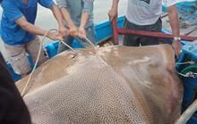 Ngư dân Bình Thuận câu được cá ó sao khủng hơn 120 kg