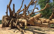 Cơ quan nào chịu trách nhiệm xác nhận nguồn gốc 3 cây quái thú