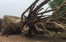 Xử phạt chủ gốc cây quái thú vì thủ tục không đầy đủ