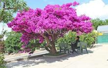 Sốt rần rần với cây hoa giấy khổng lồ siêu đẹp ở Đà Lạt