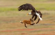 Cuộc giành mồi kịch tính giữa cáo và đại bàng