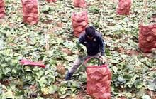 Nông sản Đà Lạt thua trắng trên sân nhà