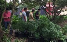 Phát hiện thành viên Hội thánh Đức Chúa Trời Mẹ trồng gần 1.000 cây cần sa