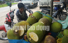 Vào mùa thu hoạch rộ, giá mít Thái siêu sớm giảm sâu