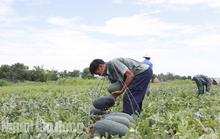 Quảng Nam kêu gọi công viên chức giải cứu 1.300 tấn dưa hấu