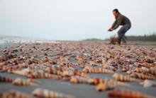 Ốc viết dày đặc biển Bình Đại, bắt hoài không hết
