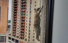 Dân Mỹ thót tim theo dõi gấu mèo leo tường như người nhện