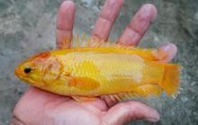Người dân bắt được cá rô đồng vàng óng