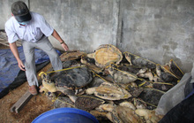 Vụ tàng trữ gần 7.000 xác rùa biển: Tòa bác áp dụng tình tiết giảm nhẹ