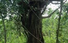 Có dấu hiệu giả hồ sơ cây quái thú bắt ở Quảng Ngãi