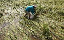 Nhà nông ĐBSCL lao đao vì mưa bão