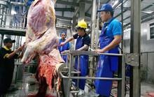 Bò Úc hết thời nuôi sao cũng lãi