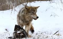 """Châu Âu trước nguy cơ """"sói phóng xạ"""""""