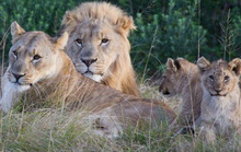 Sư tử giết chết nhóm săn trộm trong khu bảo tồn